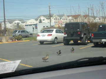 Every spring, these ducks take over the Wendy's parking lot, hoping for stray french fries - soon there'll be ducklings too